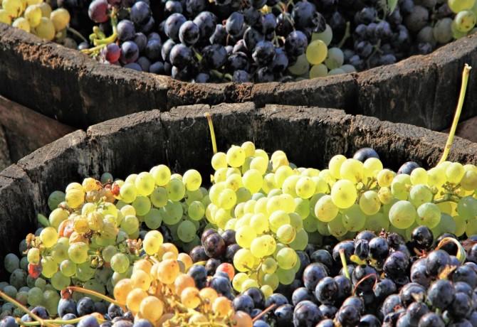 Grožđe iz svemira za bolje vino na Zemlji!