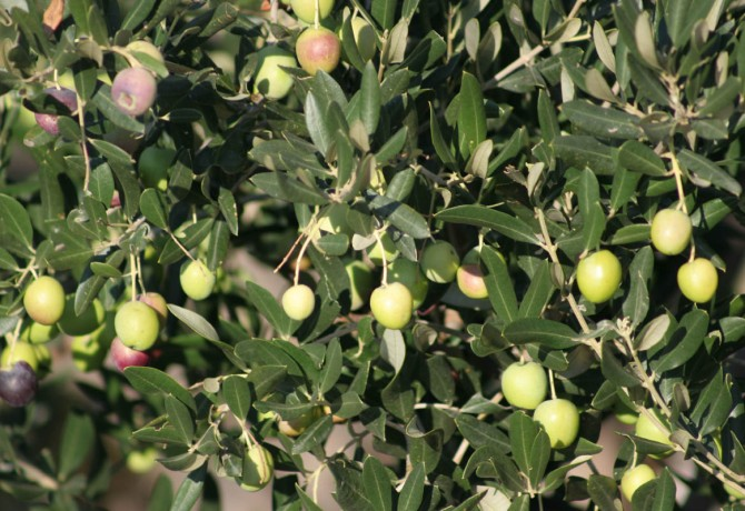 Olive harvest – socializing with a foster parent of numerous generations