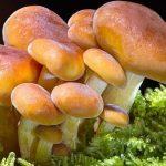 Konzumacija gljiva može prepoloviti rizik od propadanja kognitivnih sposobnosti