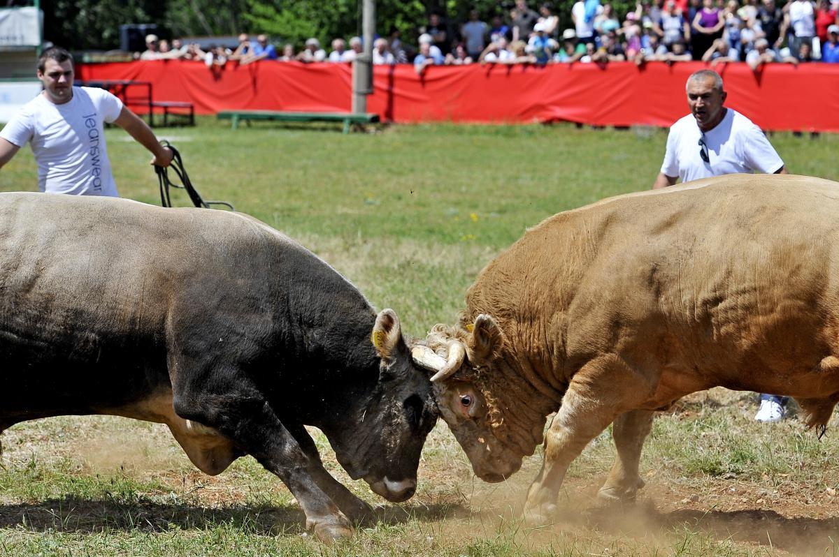 Domaća janjetina, odojci i borbe bikova: u Radošiću desetak tisuća posjetitelja pratilo seosku bikijadu Bilo ljudska, bilo životinjska, snaga se danas na 24. Seoskoj bikijadi u Radošiću odmjeravala na svakom koraku. Natjecatelji u brojnim seoskim disciplinama, starim tradicijskim sportovima, bikovi u radošićkoj areni, njih dvadesetak, samo je dio onoga što je jučer u Radošiću imalo prilikugledati desetak tisuća posjetitelja koji su mogli uživati u domaćoj janjetini i odojku, a oni nešto slabijeg takujina u ćevapima.