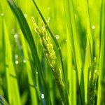Manipuliranjem RNA znanstvenici na poljima uzgojili 50 posto veću rižu i krumpire