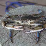Plavi rak iz Atlantika prijeti da će uništiti hrvatsku jegulju