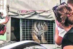 Svjetska organizacija za zaštitu prirode zgrožena slučajem tigra iz Hrvatske